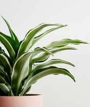 Load image into Gallery viewer, White Jewel Dracaena