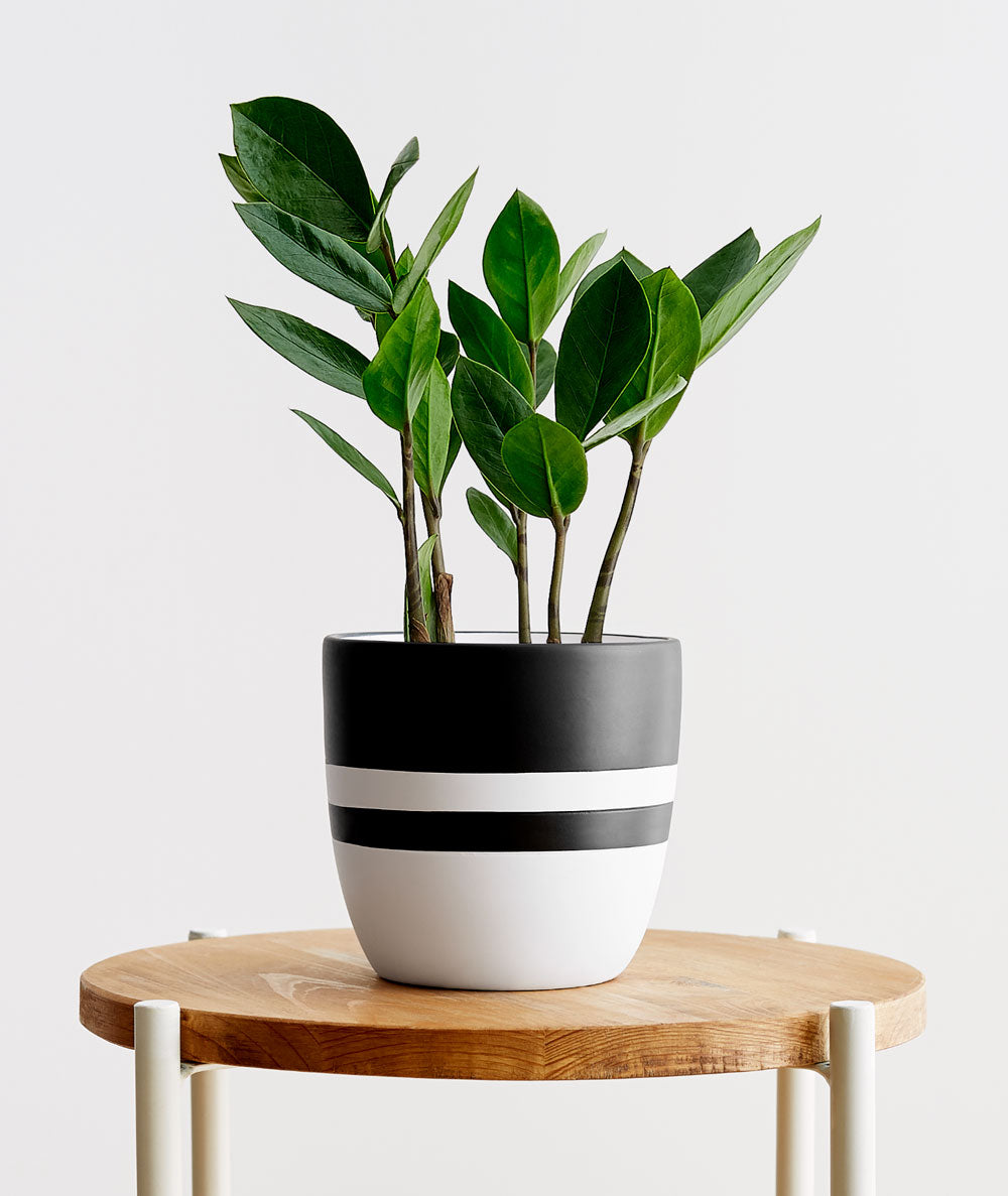 Zz Plant Drooping
