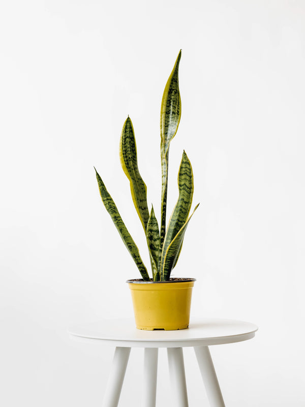 Snake Plant Laurentii (medium) - plant
