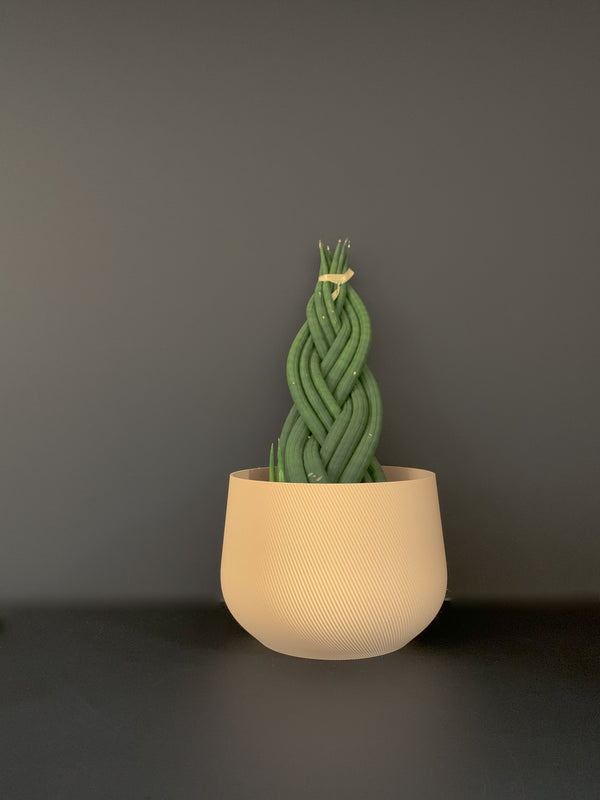 Braided Sansevieria x conifer