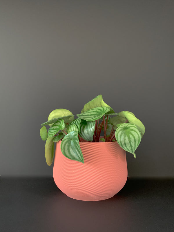 Watermelon Peperomia x conifer