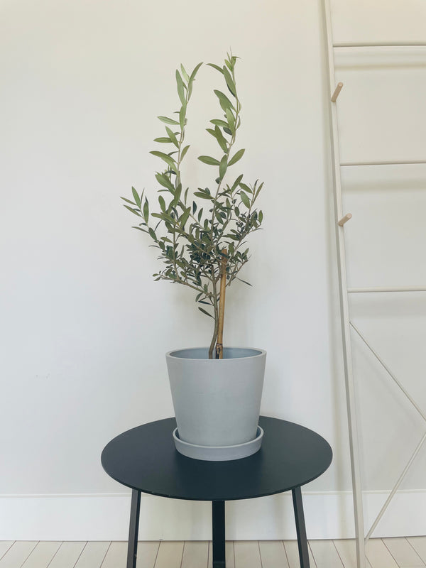 Arbequina Olive Tree (Medium)