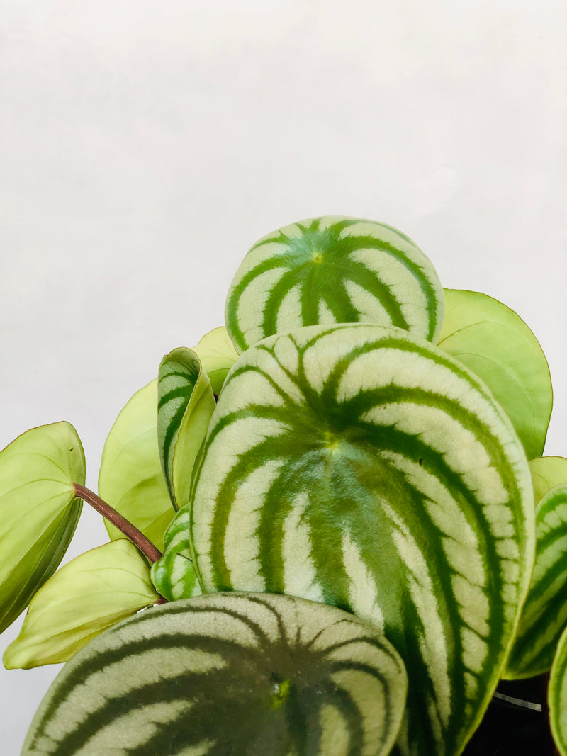close up of watermelon peperomia leaf