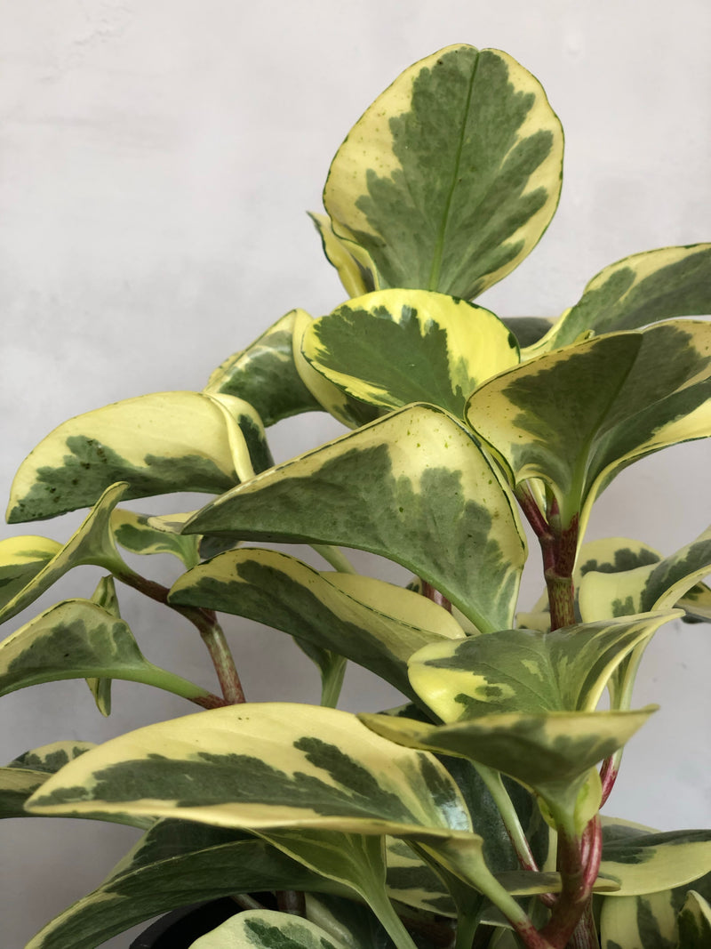 close up peperomia marble