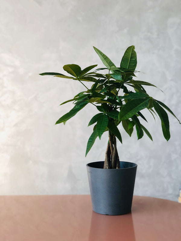 money tree in grey recycled pot