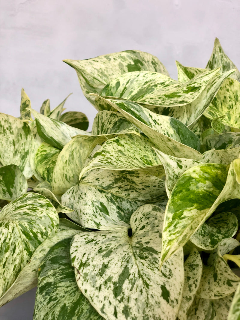 close up of marble queen
