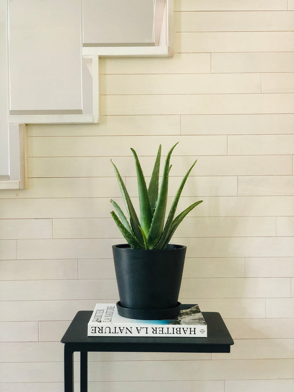 "aloe plant in 6"" black pot"
