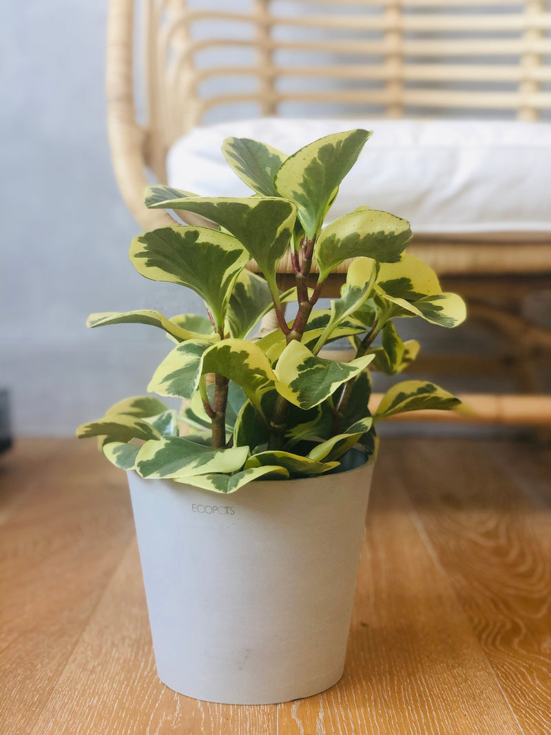 peperomia marble in white recycled pot