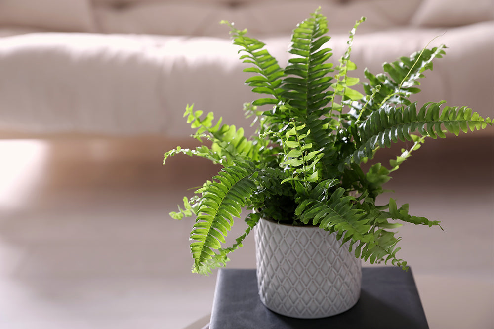 How to Keep Your Fern Alive: Indoor Plant Care Tips