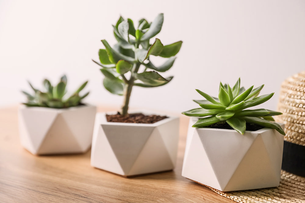Grow Like a Pro: How to Care for Succulents Indoors