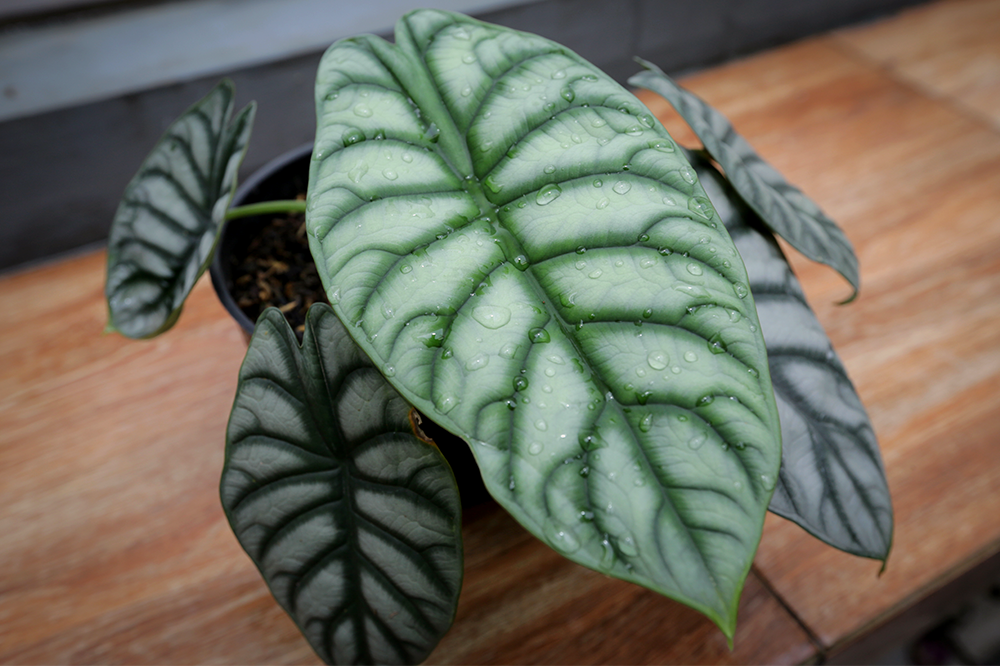 alocasia watering and humidity tips