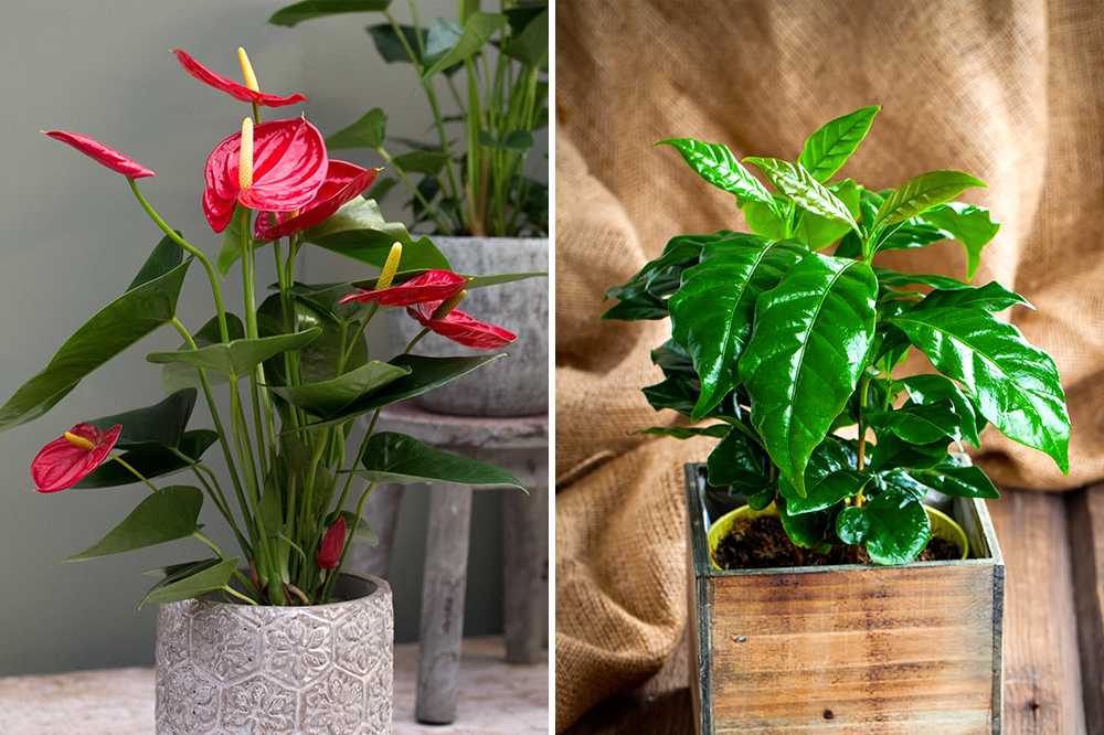 anthurium & coffee arabica