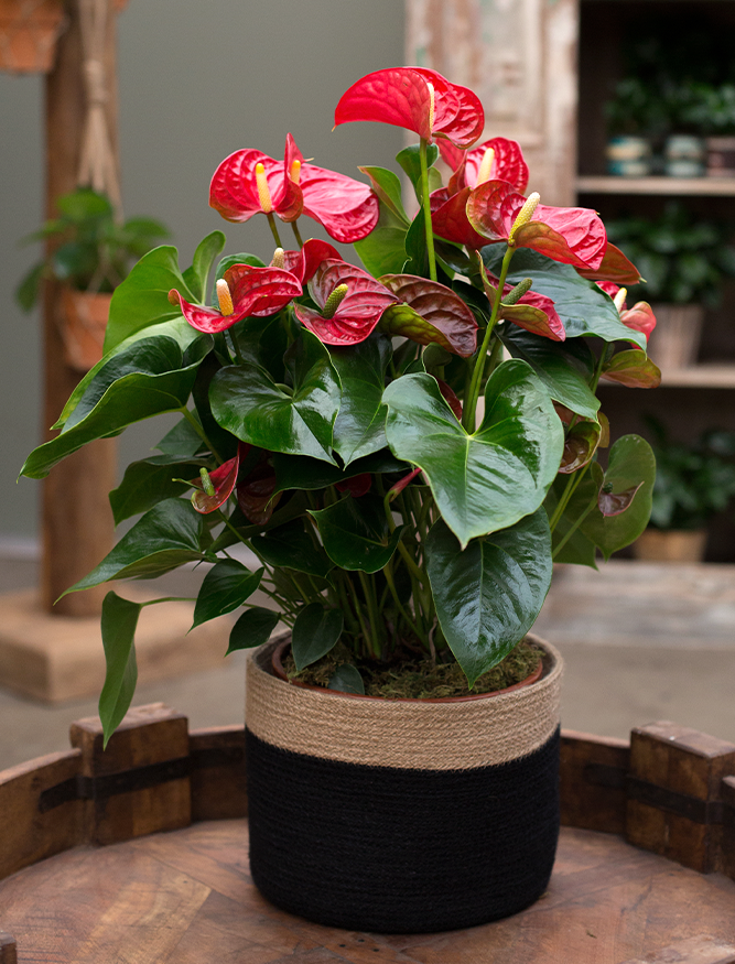 anthurium red christmas accents