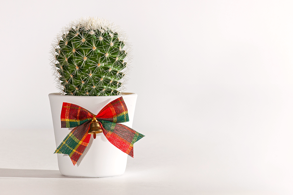 cactus with christmas bow