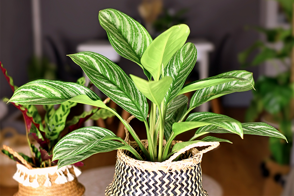 chinese evergreen aglaonema