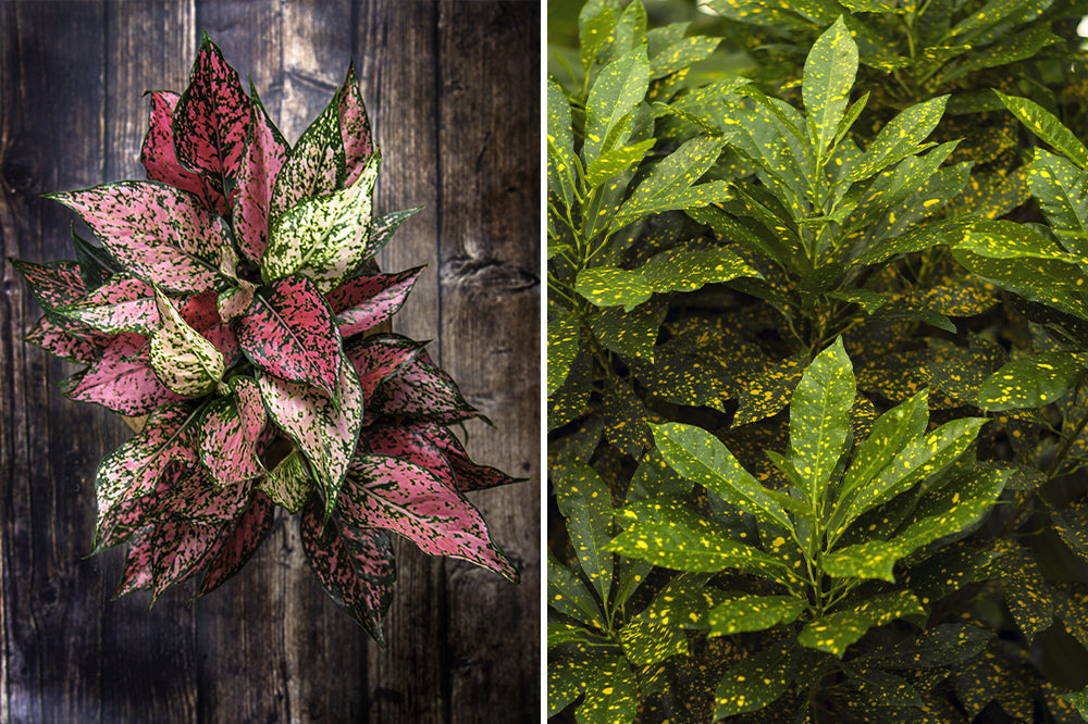 chinese evergreen & gold dust croton