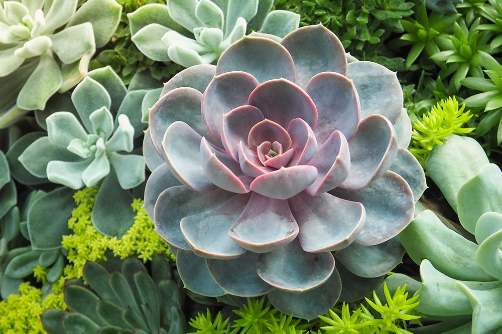 colorful echeveria varieties plants for spring