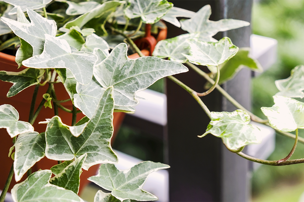 common ivy houseplant