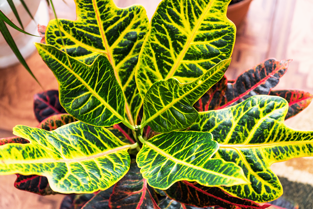 croton with bright yellow and red leaves