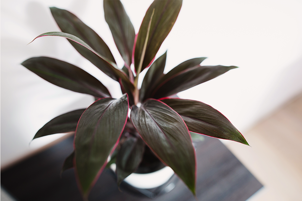dark cordyline dim light houseplant