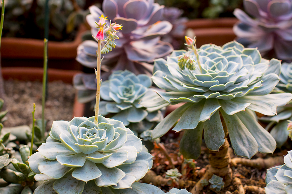 flowering echeveria succulent