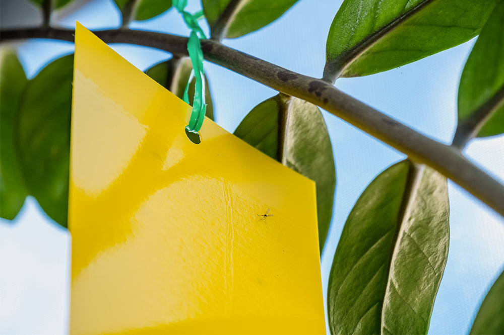 zz plant with sticky trap and fungus gnat