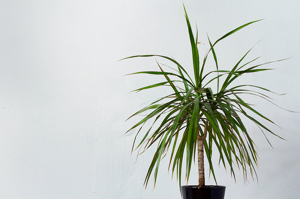 green dracaena dim light houseplant