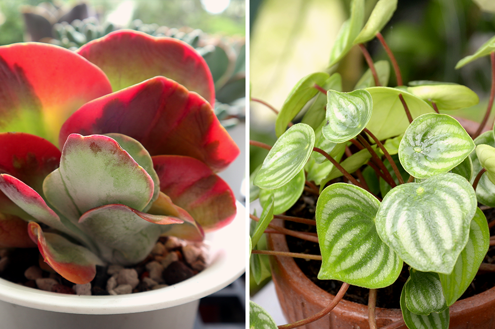 kalanchoe flapjack peperomia watermelon red and green hues