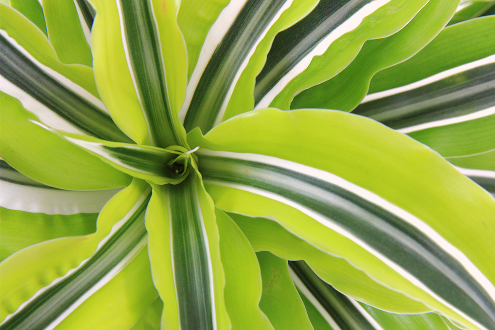 lime green variegated dracaena
