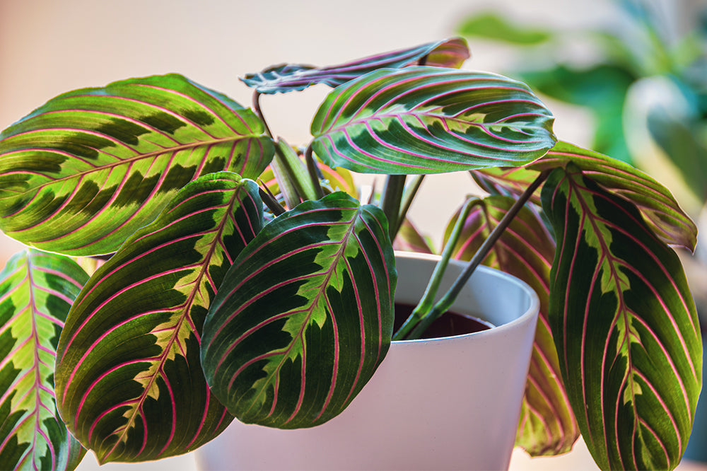 maranta plant with red stripes