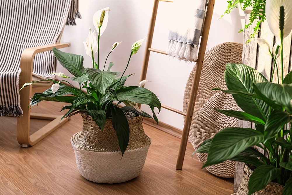 peace lily with woven pot cover