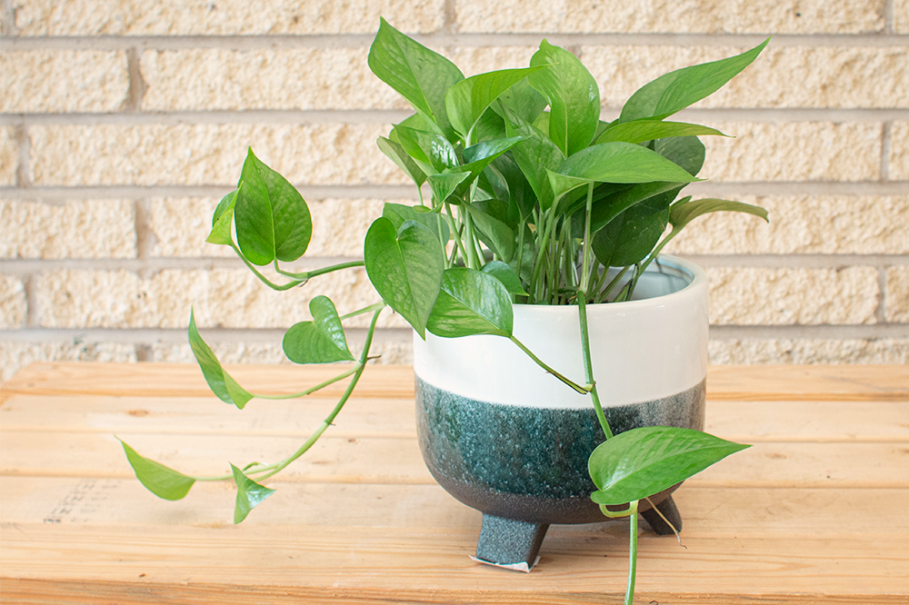 potted pothos on wooden table