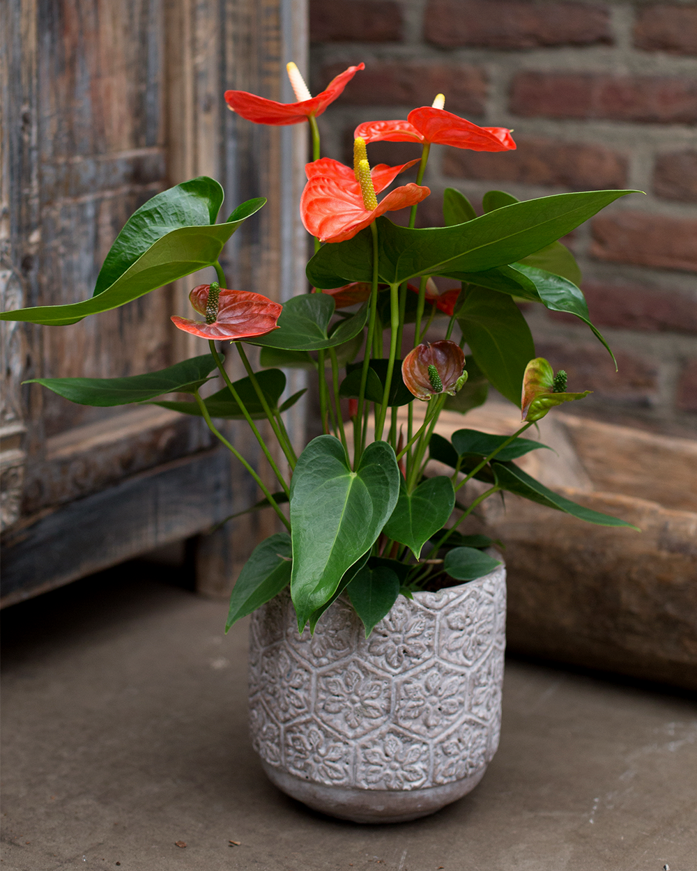potted red anthurium