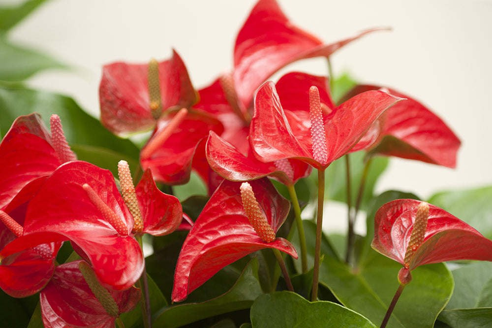 red anthurium flamingo flower colourful plant for spring