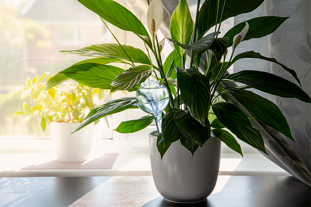 self watering device peace lily
