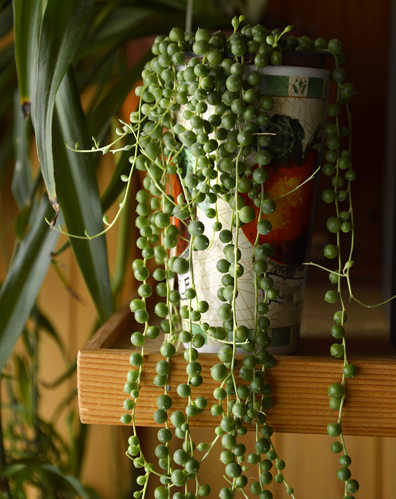 senecio string of pearl dim light houseplant