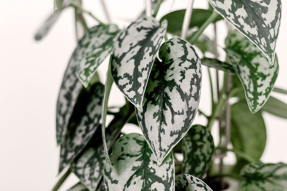 silver speckled pothos