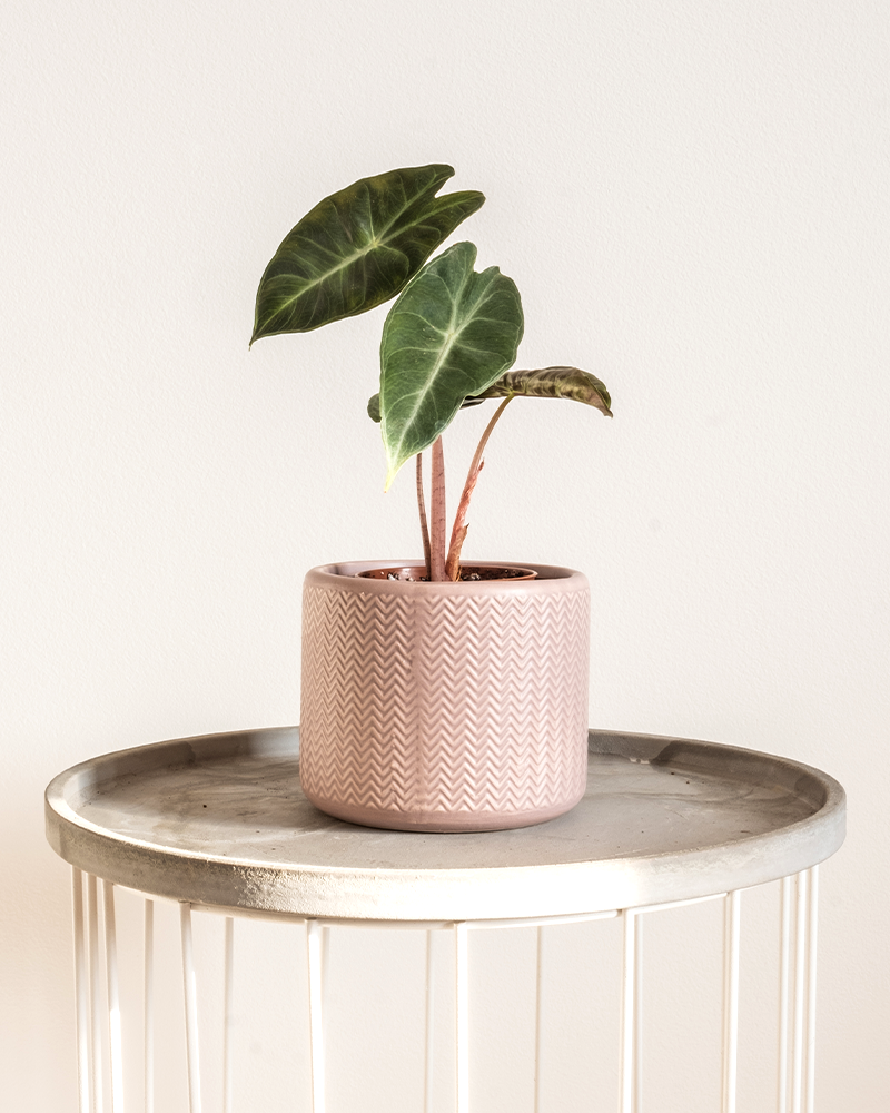 small alocasia houseplant in pink pot