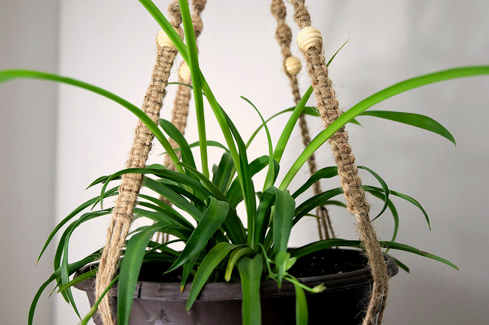 spider plant in macrame hanging basket