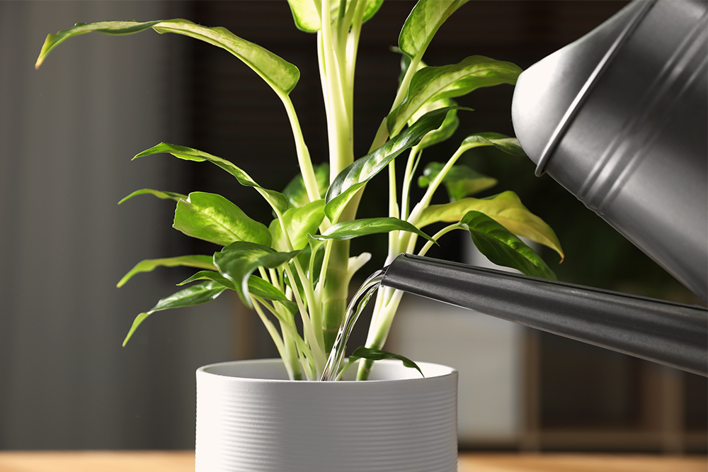 watering dieffenbachia before vacation