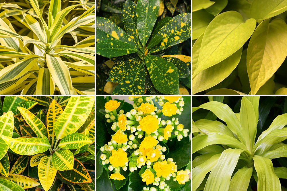 illuminating yellow pantone color 2021 houseplants
