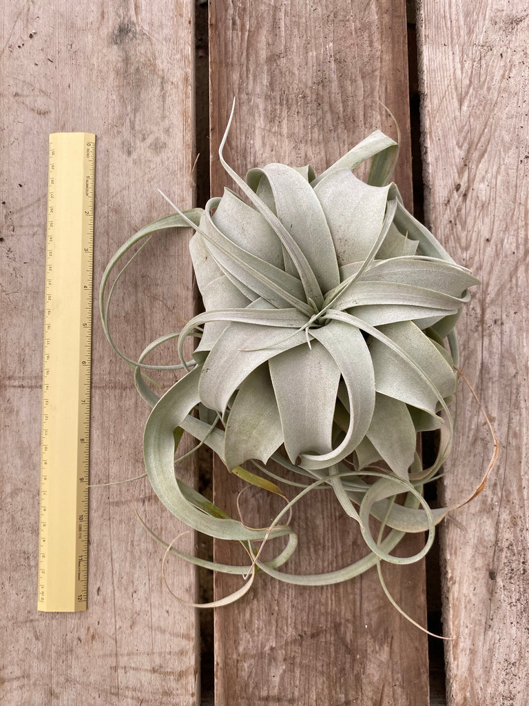 Tillandsia Xerographica, Medium