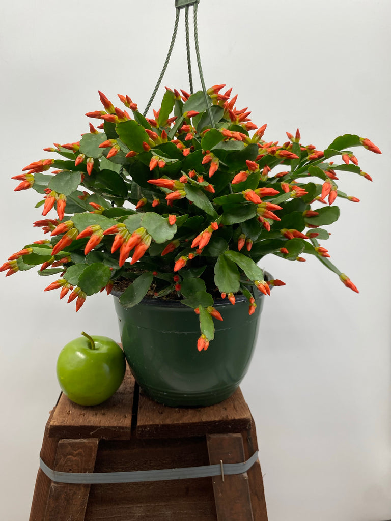 "8"" Spring Cactus, Orange"
