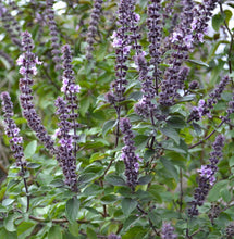 Load image into Gallery viewer, African Blue Basil