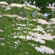 Load image into Gallery viewer, Yarrow