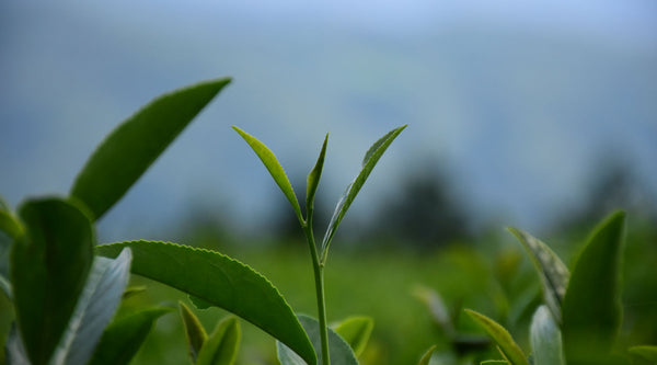 ABOUT JAPANESE TEAS