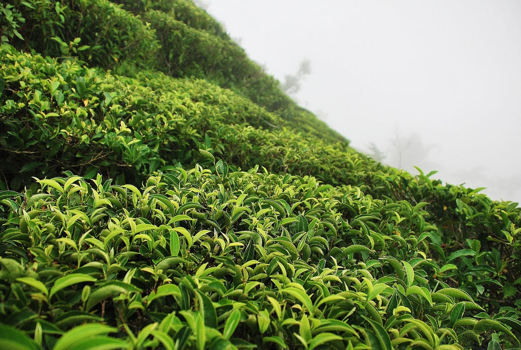 Tea field at Jun Chiyabari garden in Nepal