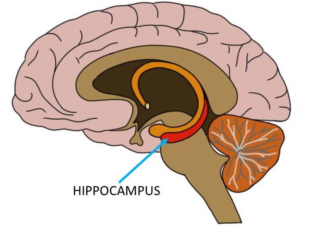 CBD Significantly Improves Blood Flow to Brain's Hippocampus, New Findings Show