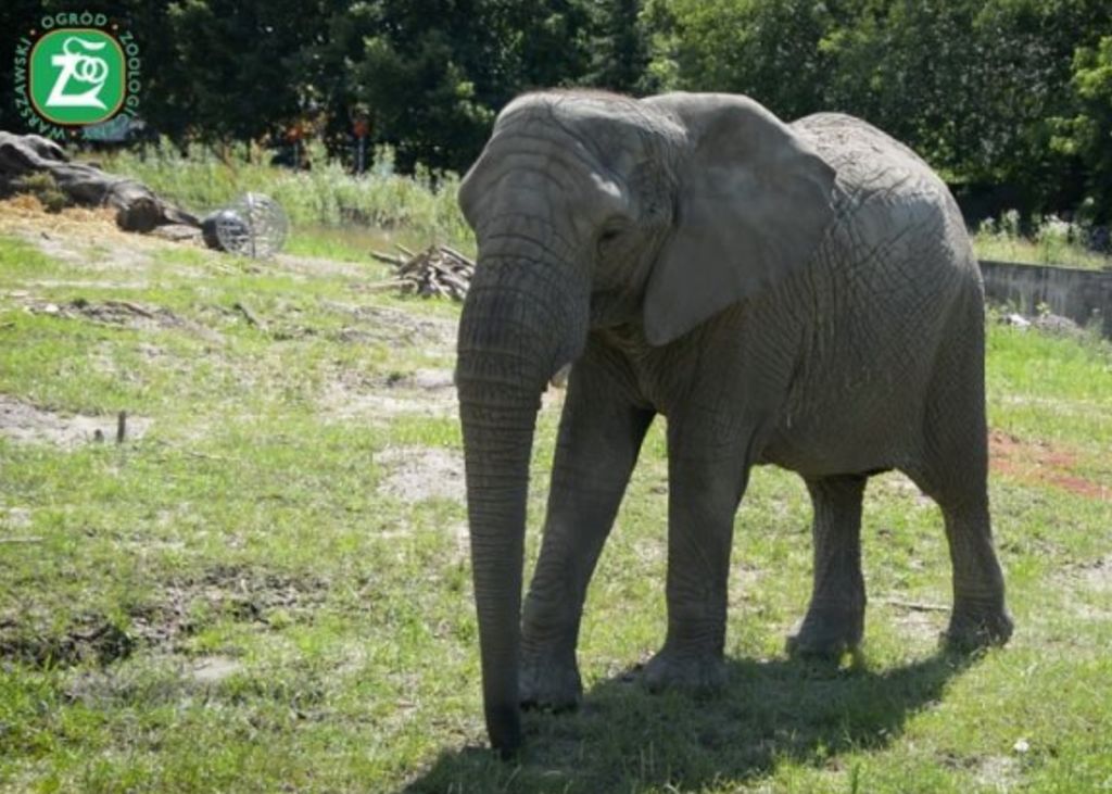 Warsaw Zoo plans to give elephants cannabidiol to help them chill.