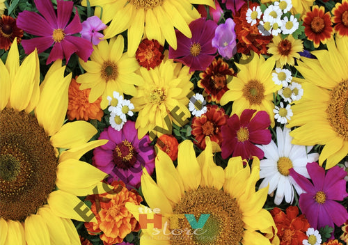 Sunflowers And More Photo Htv 12 X 17 Itv